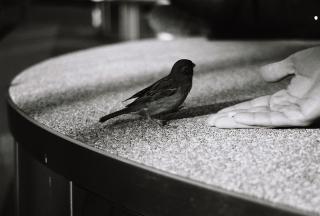 Feeding sparrows at Alex